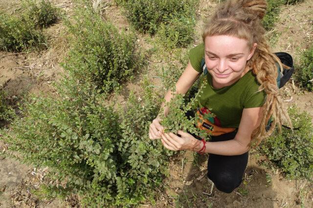 mehendi masala na plantacji henny w sojat